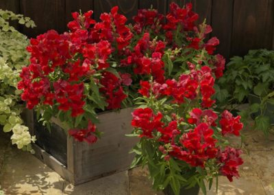 ANTIRRHINUM FLORAL SHOWERS