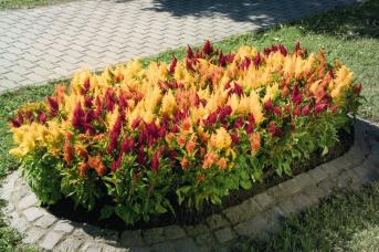 CELOSIA FRESH LOOK